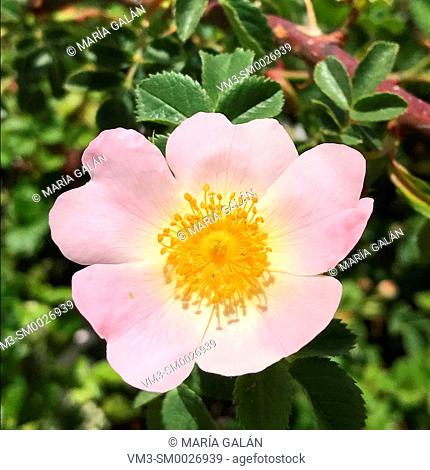 Rose bush flower