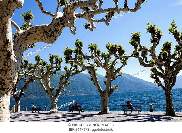 Plane trees on the promenade of Ascona, Lake Maggiore, Lago Maggiore, Ticino, Switzerland, Europe