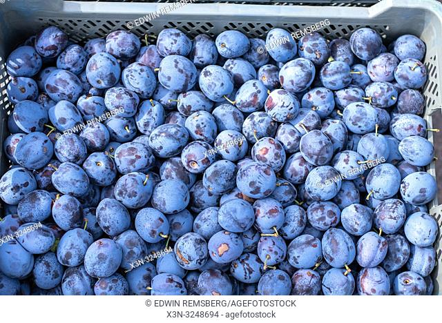 Close up shot of the Damson Plum (Prunus domestica) in a plastic bin at the Bronisze Wholesale Market - one of the biggest fruits and vegetables markets in...