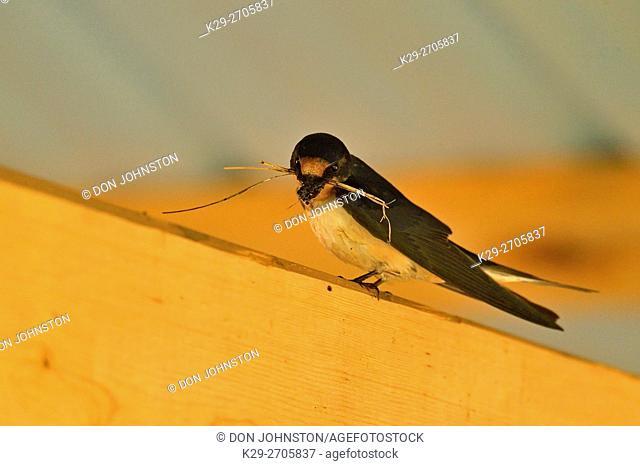 Barn swallow (Hirundo rustica) Adults constructing mud nest in pavilion rafters, Sandstone, Minnesota, USA