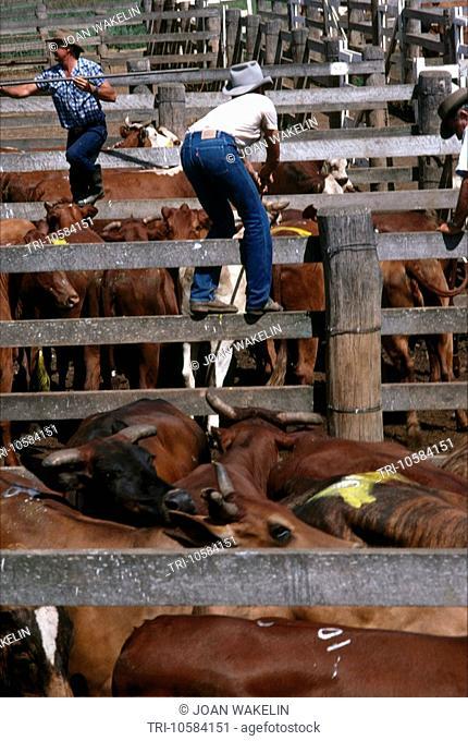Queensland Australia Murgan Cattle Auction