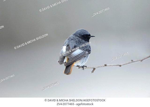 Black Redstart (Phoenicurus ochruros) sitting on a branch in winter, Bavaria, Germany