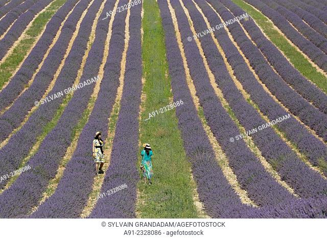 France, Provence, Alpes de Haute Provence (04), ville de Valensole, blossoming lavender fields in summer, chinese tourists taking photos