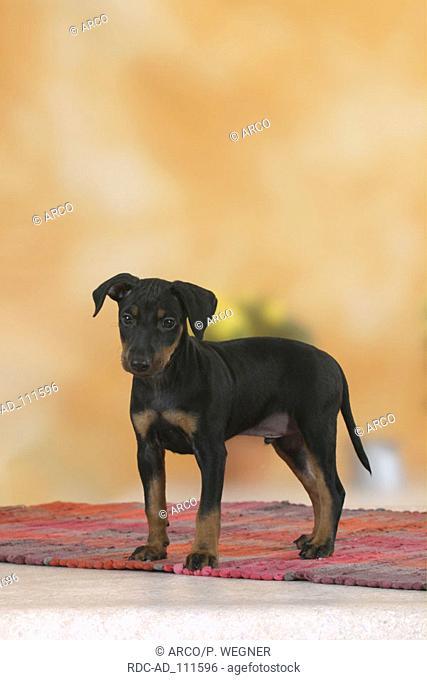 Manchester Terrier puppy 8 weeks