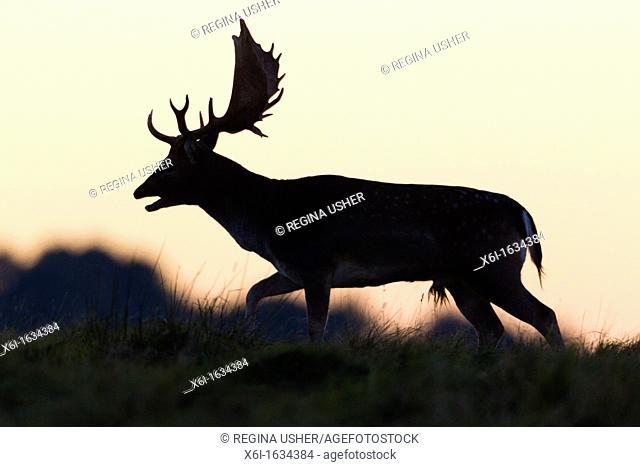 Fallow Deer Dama dama, Buck Roaring, on Horizon at Dusk, during the Rut, Royal Deer Park, Klampenborg, Copenhagen, Sjaelland, Denmark