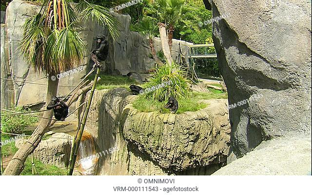 Four Bonobo Monkeys with one standing on top of Bamboo pole, one sitting on rope and two sitting on grass with rocks, trees, waterfall and bridge behind