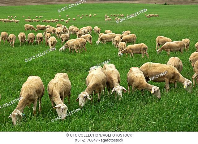 Grazing Lacaune dairy sheep, Roquefort region, Aveyron, France