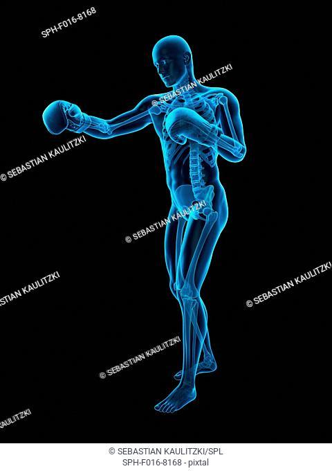 Skeletal structure of a boxer, illustration