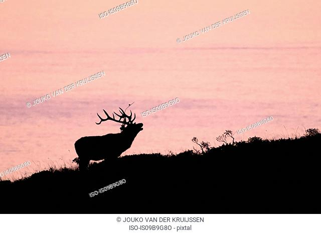 Silhouetted tule elk buck (Cervus canadensis nannodes) on coast at sunset, Point Reyes National Seashore, California, USA