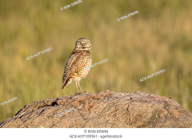 Burrowing Owl (Athene cunicularia), an Endangered Species in Grasslands National Park, Saskatchewan, Canada