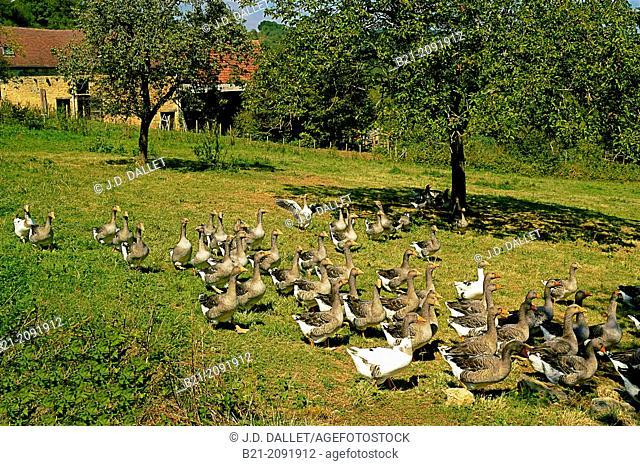 "France. Aquitaine. Dordogne. . to make the famed """"Foie Gras d'Oie"""".Farm at Rodas de Saint Rabier"