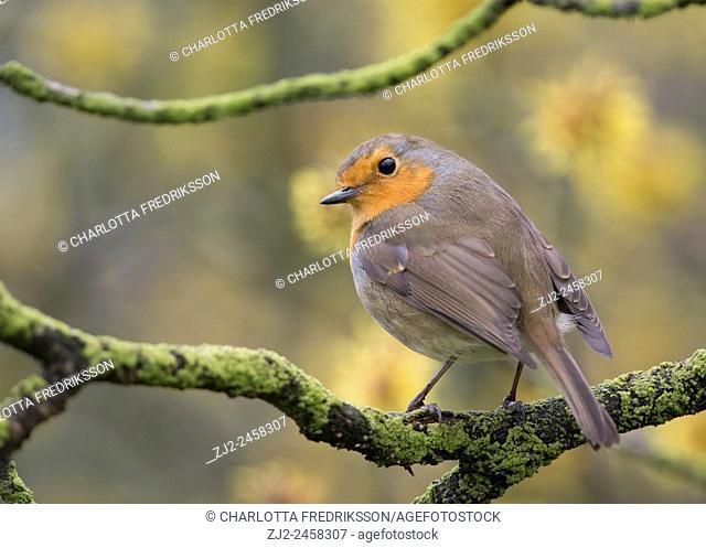 European robin perched in tree (Erithacus rubecula), United Kingdom