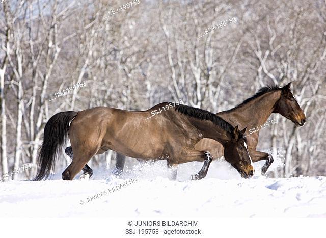 Westphalian Horse Clipped bay geldings trotting in snow Germany