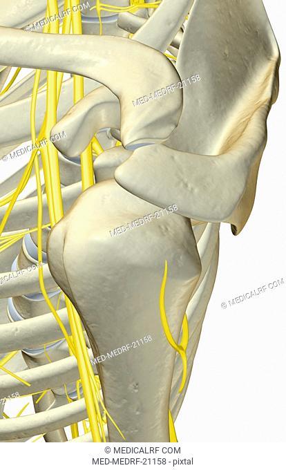 The nerves of the shoulder