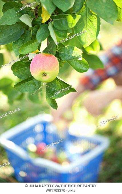 Fresh apples in a garden