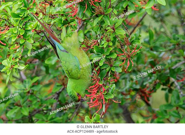Slender-billed Parakeet (Enicognathus leptorhynchus) perched on a branch in Chile