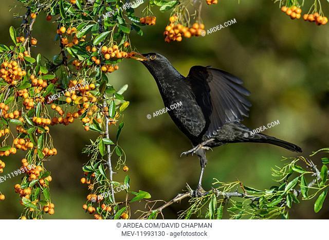 Blackbird - Eating Pyracantha Berry - Cornwall - UK