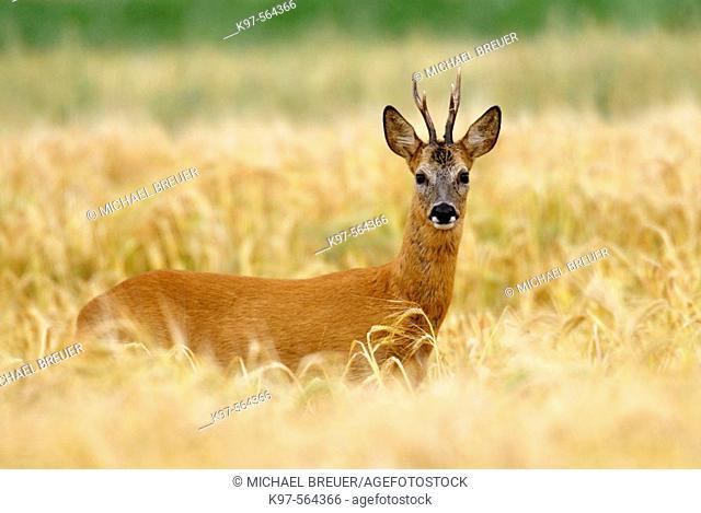 European Roe Deer (Capreolus capreolus), male