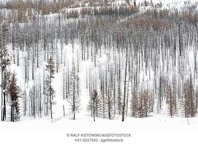 Dead forest, trees, woods in winter, nearly monochrome structures, Grand Teton National Park, Wyoming, USA