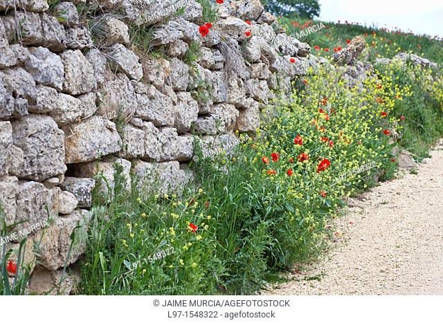 Stone wall with flowers near the village of Hontanas along the Camino de Santiago, route Frances