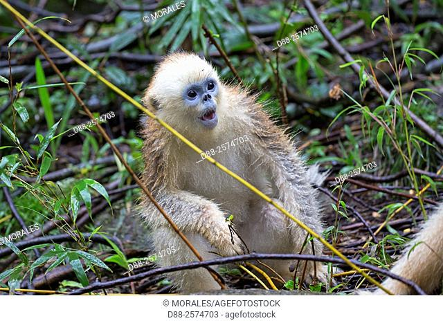 Asia, China, Shaanxi province, Qinling Mountains, Golden Snub-nosed Monkey Rhinopithecus roxellana, young sitting on a tree