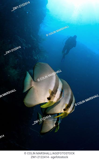 Diver and Blunthead Batfish (Platax teira) at Southwest Reong dive site off Wetar Island near Alor in eastern Indonesia