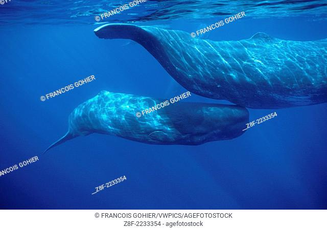 Sperm whale .Physeter macrocephalus.Calf swimming under mother's tail.Azore Islands (Portugal), North Atlantic Ocean