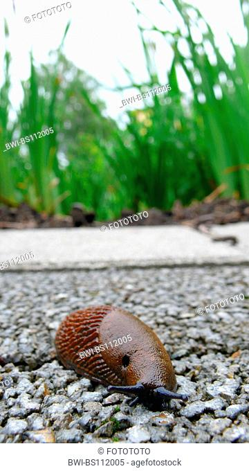 Spanish slug, Lusitanian slug (Arion lusitanicus, Arion vulgaris), creeping on wayside, Germany