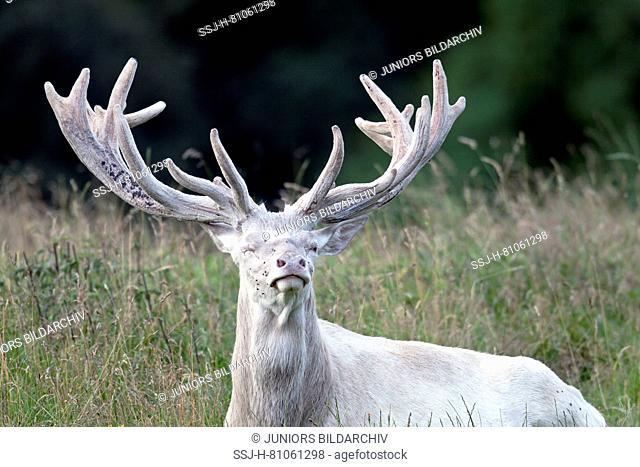 Red Deer (Cervus elaphus) albino stag lying with velvet-covered antlers