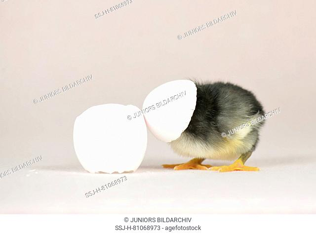 Domestic chicken, Vorwerk chicken x Leghorn chicken. Chick (1 day old) with egg shell on its head. Studio picture. Germany