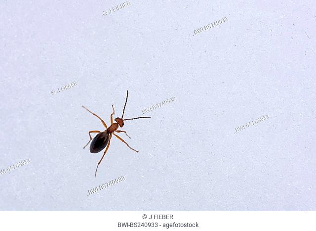 ant in the snow, Germany, Rhineland-Palatinate