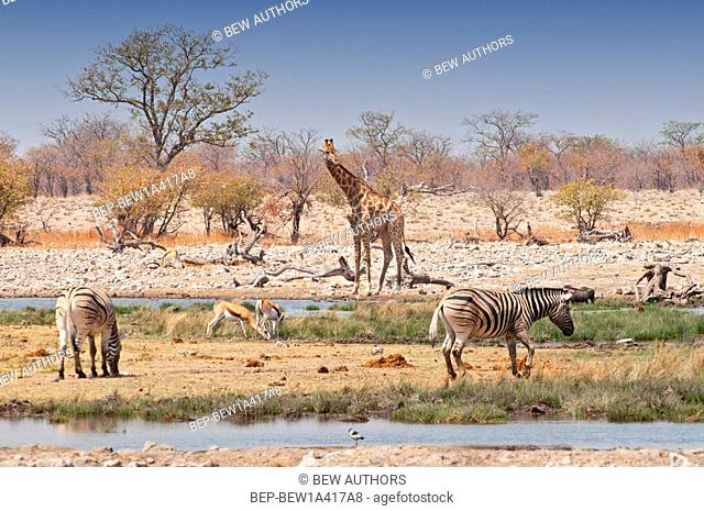 Africa, Namibia, zebras and giraffes in Etosha National Parks