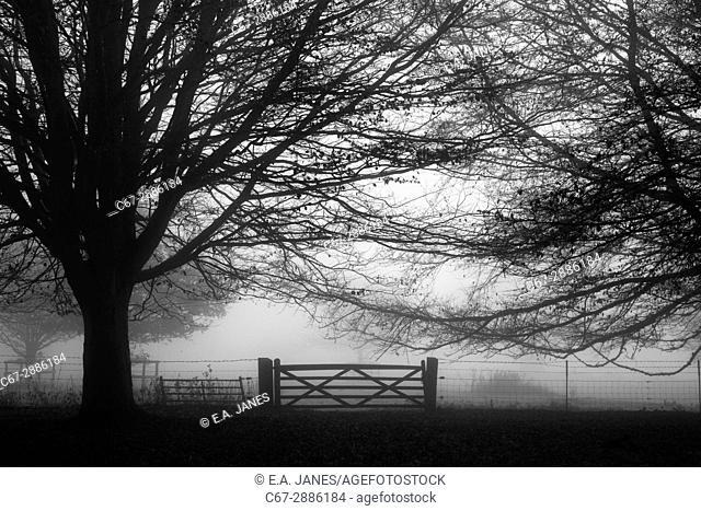 Trees in Morning mist at Felbrigg Park Norfolk