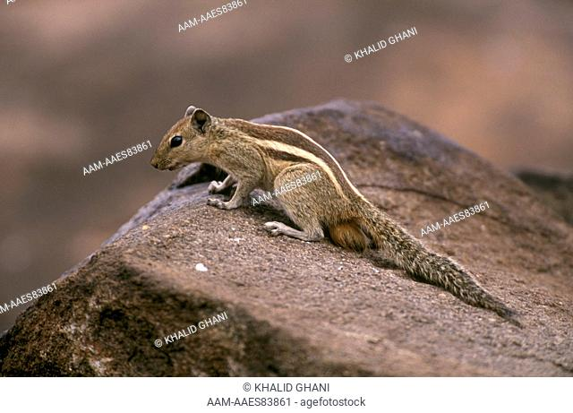 Jungle Palm Squirrel (Funambulus tristriatus), Daroji Bear Sanctuary, Karnataka, South India