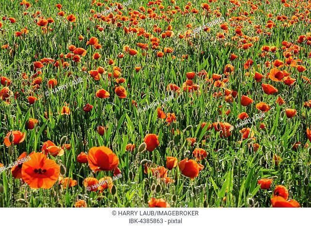 Common poppies (Papaver rhoeas), poppy field, Heidelberg, Baden-Württemberg, Germany