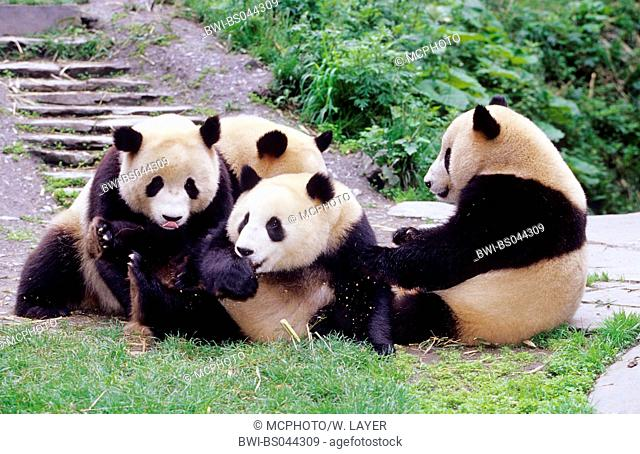 giant panda (Ailuropoda melanoleuca), four two years old Giant Pandas in the research station of Wolong, national animal of china, China, Sichuan, Wolong