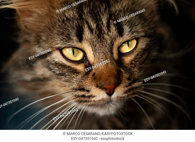Details of a beautiful domestic cat with amber eyes
