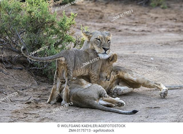 Lion cubs (Panthera leo) cuddling with their mother in the Samburu National Reserve in Kenya