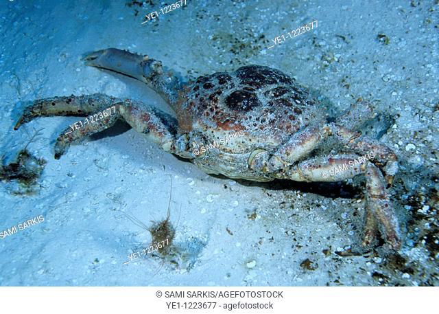 Carcass of a dead crab on the beach, Cozumel Island, Mexico