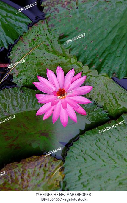 Water Lily (Nymphaea), Samosir island, Lake Toba, Batak region, Sumatra, Indonesia, Asia