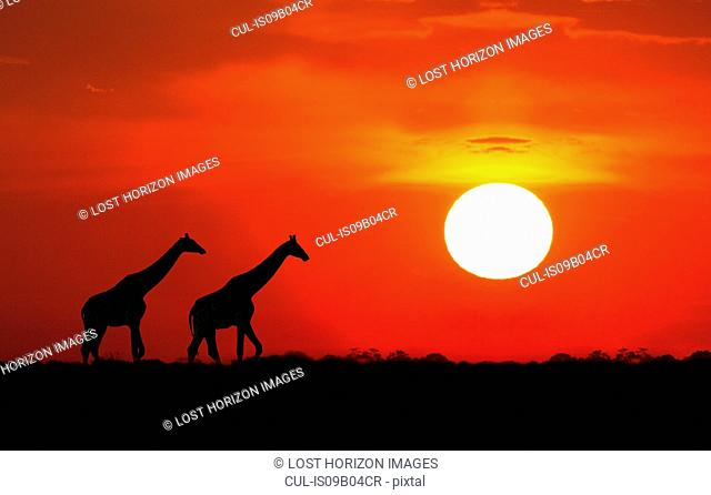 Giraffes at sunset, Etosha National Park, Namibia