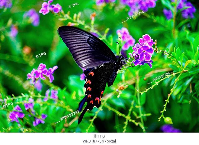 Papilio maraho