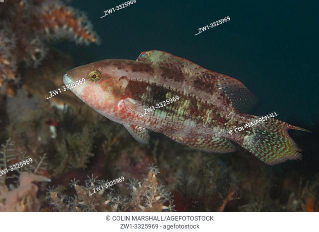 Twospot Wrasse (Oxycheilinus bimaculatus, Labridae family), Jetty dive site, Padangbai, near Candidasa, Bali, Indonesia