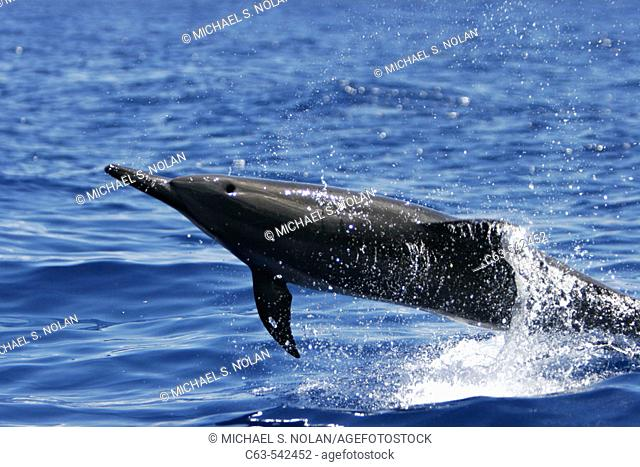 Hawaiian Spinner Dolphin (Stenella longirostris) spinning in the AuAu Channel off the coast of Maui, Hawaii, USA. Pacific Ocean