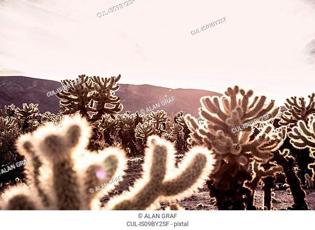 Backlit cacti, Joshua Tree, California, USA