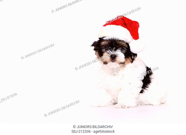 Biewer Terrier. Puppy (8 weeks old) sitting, wearing Santa Claus hat. Studio picture against a white background. Germany