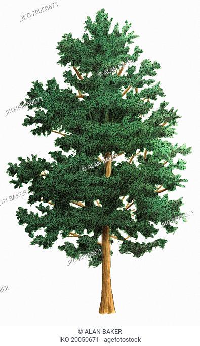 Single tree on white background, Alder (Alnus glutinosa)