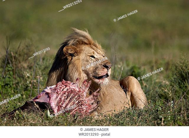 Lion (Panthera leo) at a wildebeest carcass, Ngorongoro Conservation Area, UNESCO World Heritage Site, Serengeti, Tanzania, East Africa, Africa