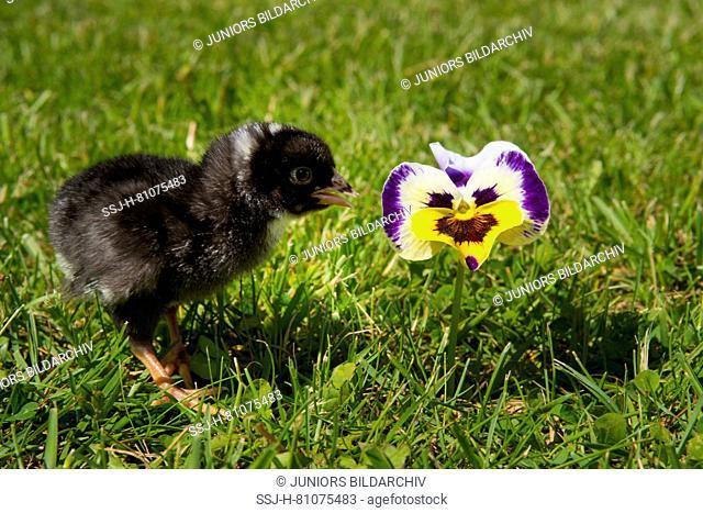Domestic chicken, Amrock Bantam chicken. Chick standing in grass next to Pansy flower. Germany