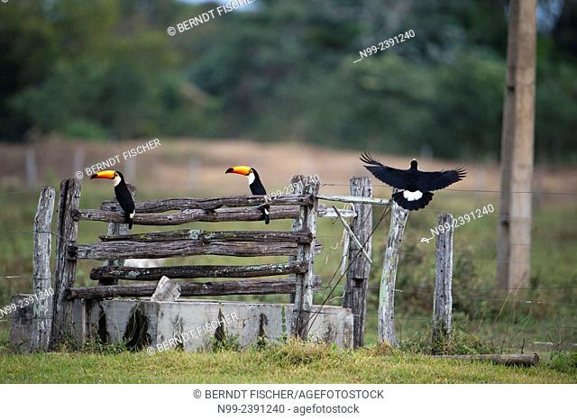 Toso toucans (Ramphastos toco), perching on water well of Fazenda, Mato Grosso do Sul, Brazil